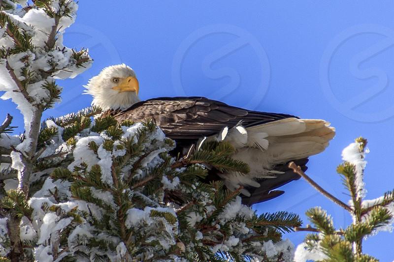The majestic bald eagle sitting atop a tree near Hood River Oregon.  photo