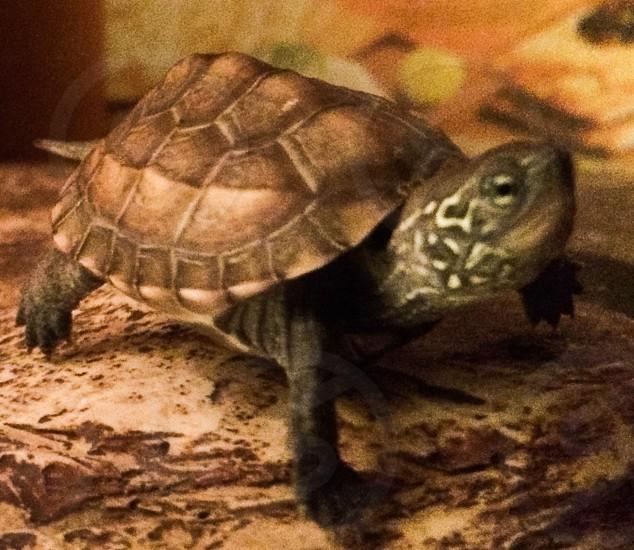 Tiny Turtle  photo