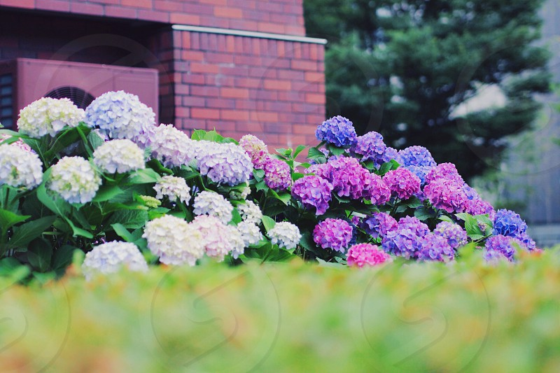 hydrangea flower June plant summer photo