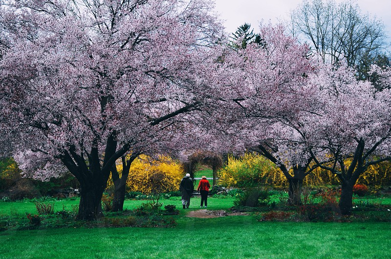 man and woman walking in cherry blossom tree photo