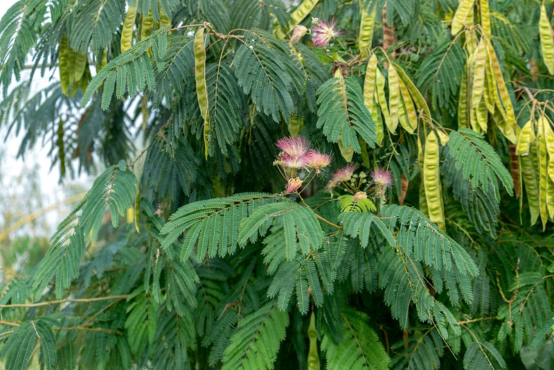 Mimosa tree flowering in the Danube Delta photo