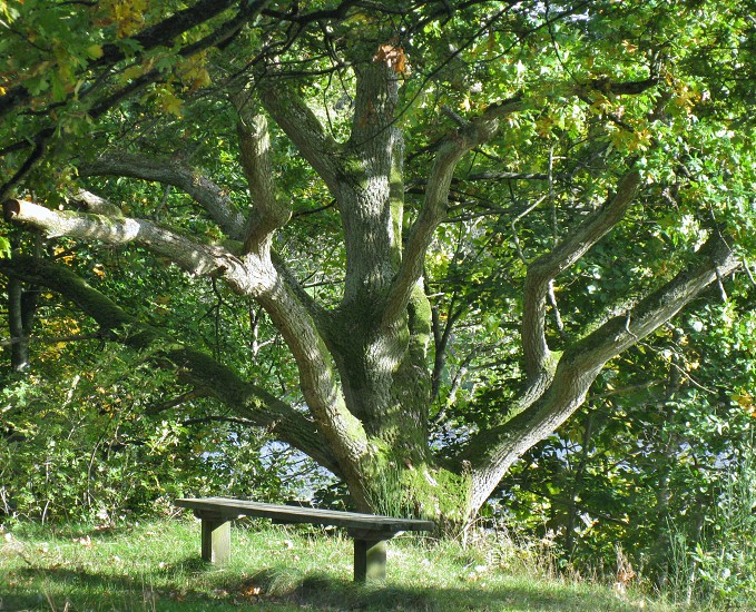 brown wooden bench under the large tree photo
