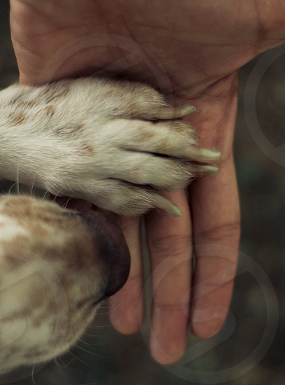 Brown white spaniel dog with paw in a human hand photo
