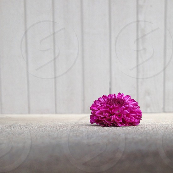 Purple Mum photo