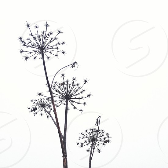 gray dandelion flower photo