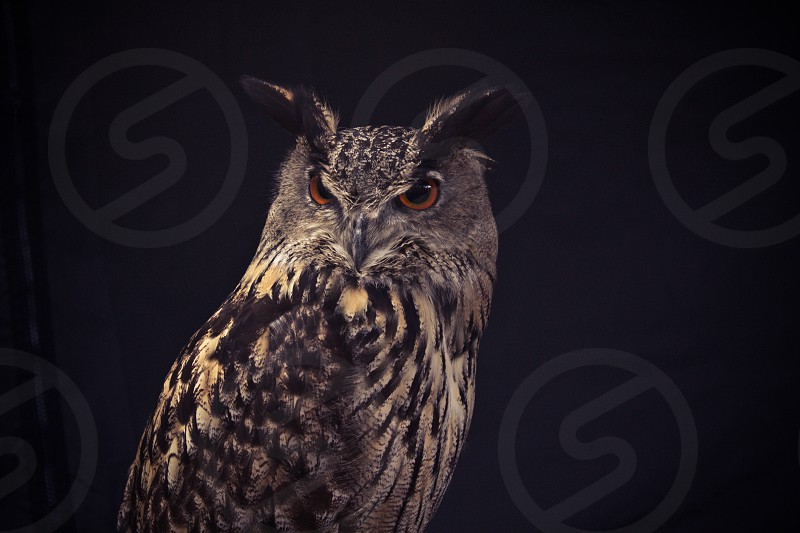 Owl at night. It's the Eurasian eagle owl. photo