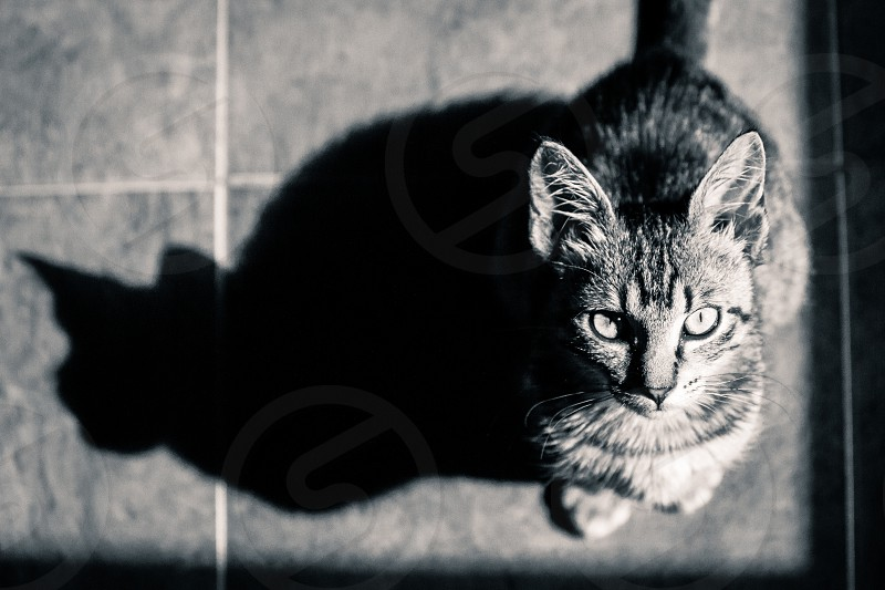 Cat Kitten Looking at Camera B&W Black&White Adorable Cute Eyes Attentive Focused Observant Observing Innocent Close Up Close-up Close Up Close-up Pet Companion Kitty Feline Animal Paw Smart Serious Shadow Silhouette Tabby Cat Face Ear Ears Tiles Pattern Young Domestic Animal Gaze Graceful Looking Look Domestic Cat Eastern Europe Europe European Shorthair Fur Furry Indoor Portrait Small Tail photo
