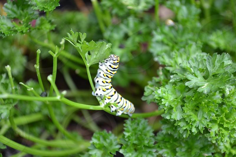 Caterpillar on parsley photo