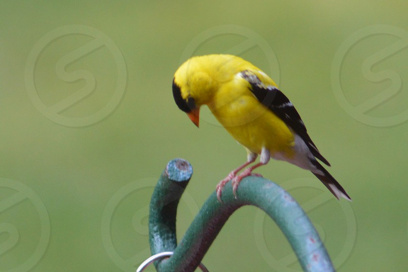 Yellow Finch Chester. Va photo