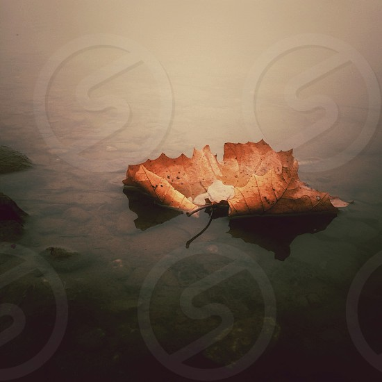 dry brown leaf floating on still water photo