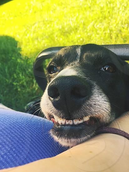 Dog smile beagle photo
