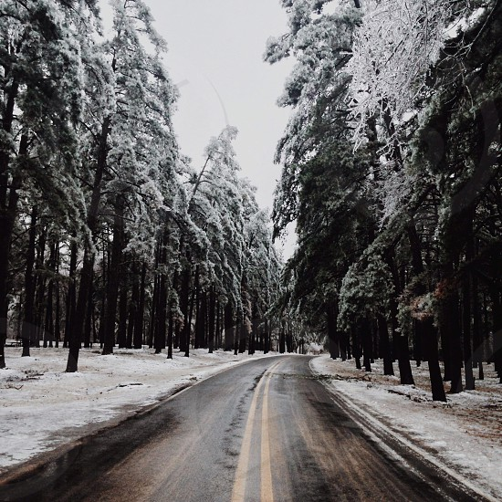 pine trees capped with snow beside road photo