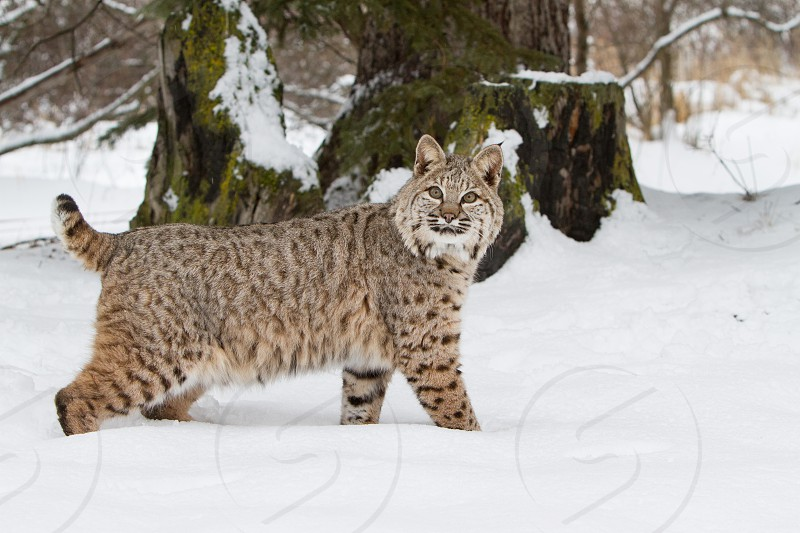 Bobcat on the hunt in the snow photo
