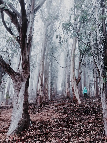 Not all those who wander in a foggy eucalyptus grove are lost photo