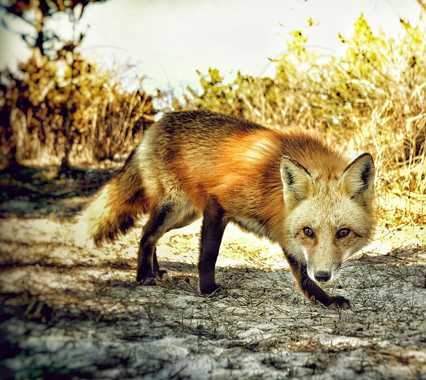 Inquisitive fox at Robert Moses Beach in Long Island NY seeing what my camera is all about.  photo