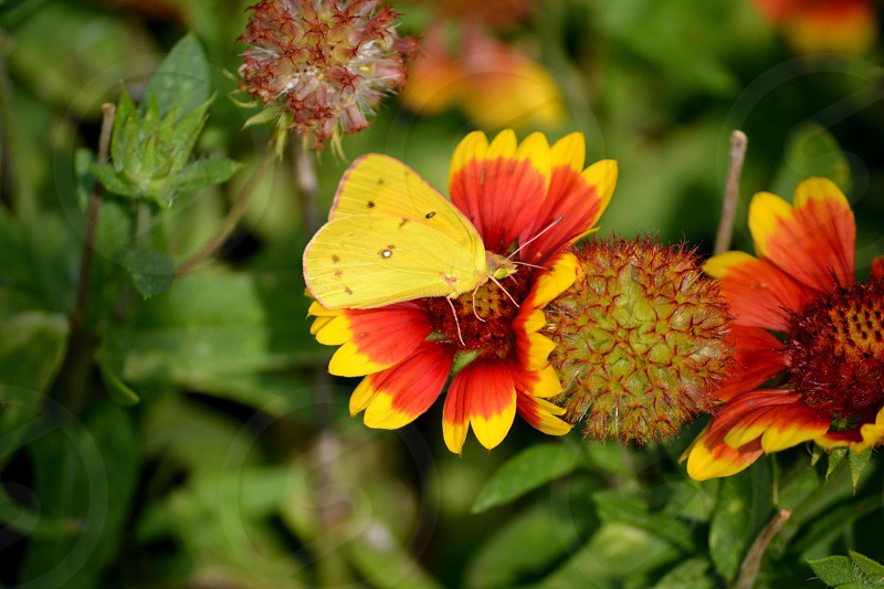 danube clouded yellow butterfly on red and yellow flower photo