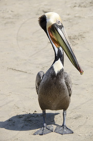Mexican Pelican photo