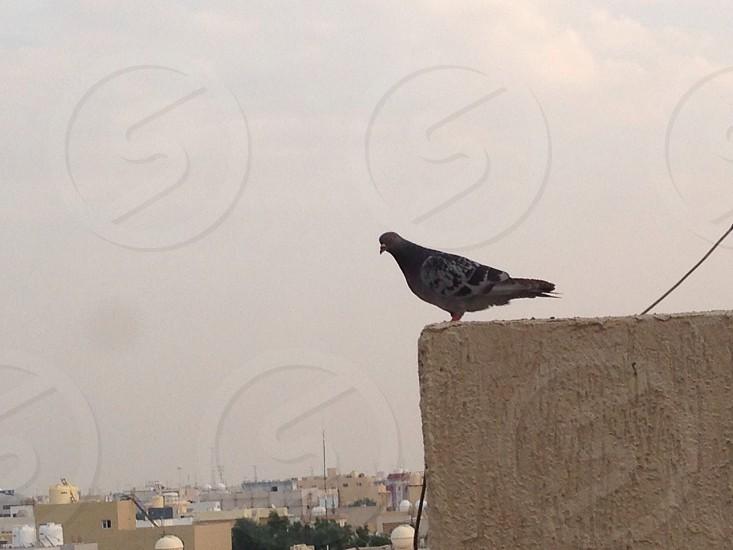 Curious?   Pigeon LisAm bird animal photo