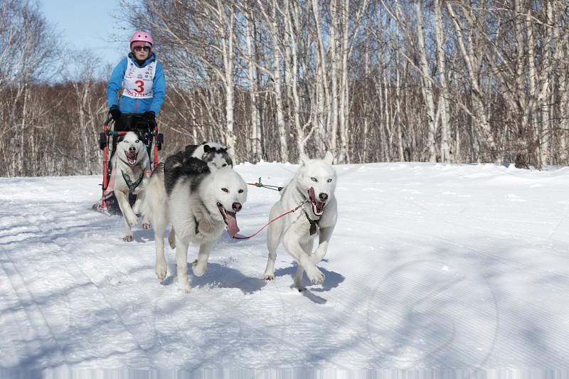 PETROPAVLOVSK-KAMCHATSKY KAMCHATKA PENINSULA RUSSIA - FEBRUARY 23 2017: Kamchatka Kids Competitions Sled Dog Race Dyulin (Beringia). Runs dog sled young Kamchatka musher Ischenko Alisa. photo