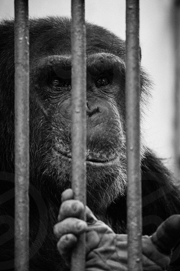 Smile hiding a deep pain . monkey ape bars sad pain hand face closeup close black and white black&white animals wild animal no wildlife photo