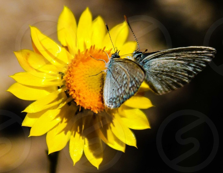 Yellow paper daisy & mini butterflies photo