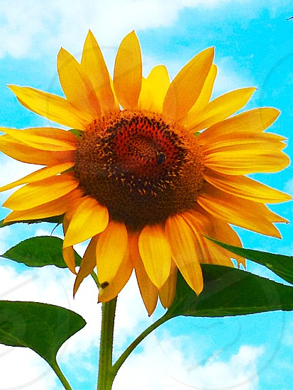 A sunflower begging to be photographed as I was walking my dog.  photo