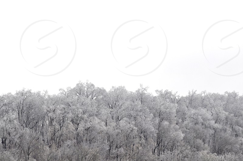 Ice and snow on trees in nature on a white background photo