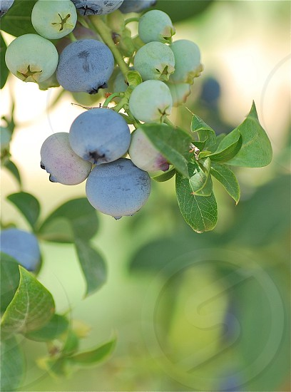Fruit Trees Blue Berry photo