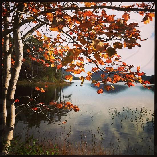 autumn leaves birch lake photo