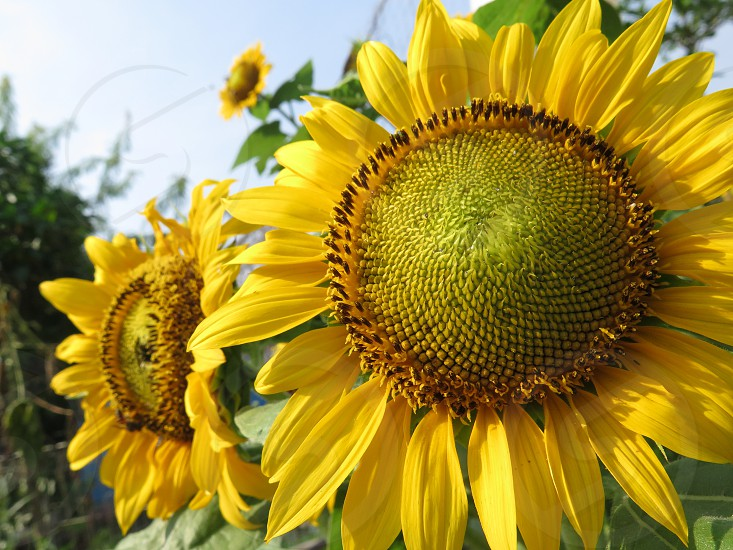 Low angle view of sunflower against blue sky in a garden in Indonesia. nature beauty day no people background photo