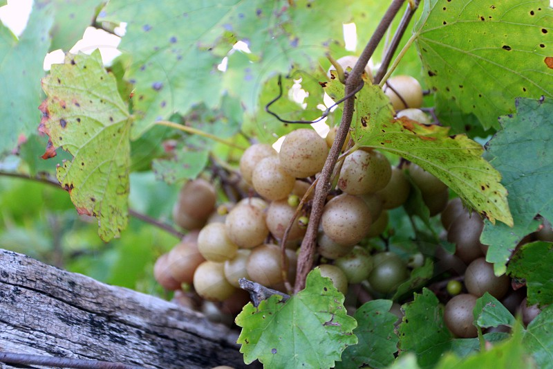 Golden muscadine grapes on an old vine with leaves and very old wood crosstie photo