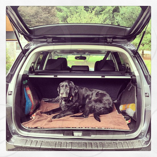 Dog riding in the back of the car. photo