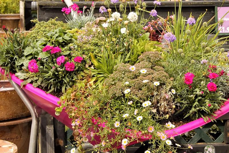 wheelbarrow magicflowersplantedwheelbarrowcolourfulunique photo