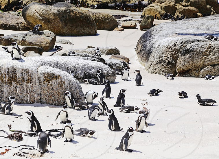 Boulders Beach South Africa Cape Town  photo