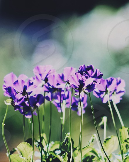 purple flowers with green leaves in tilt shift lens photo