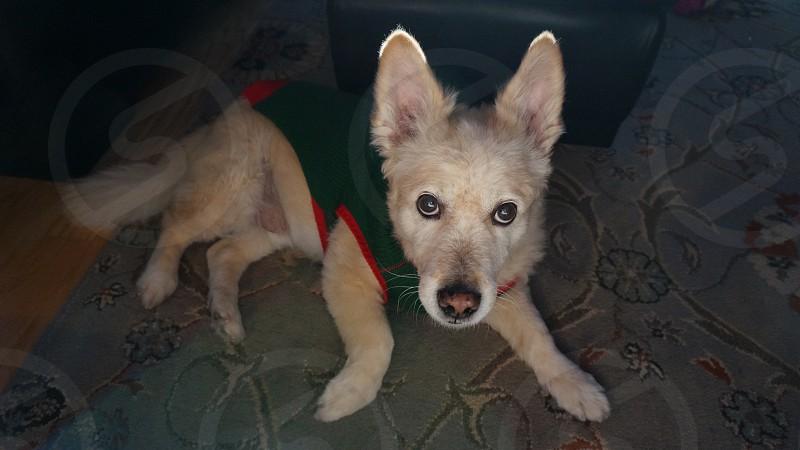 Dog Christmas corgi  photo