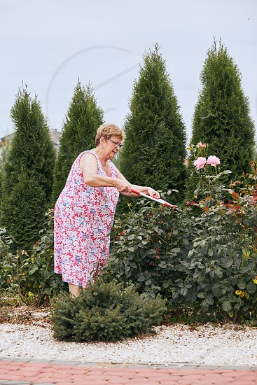 Mature woman working at a home garden trimming the rose flowers bush. Candid people real moments authentic situations photo