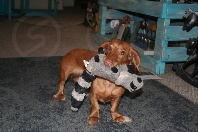 Dog wiener dog home toy living room  photo