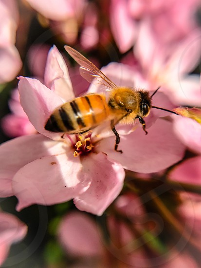 A bee pollinating beautiful pink flowers at the start of spring in California. photo