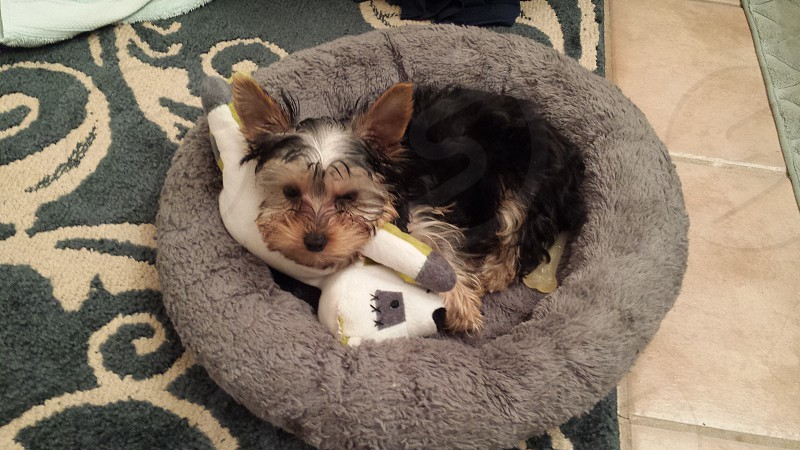 Yorkshire Terrier and his raccoon toy photo