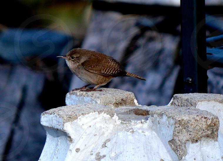 Songbird - a small brown wren photo