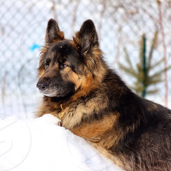 German Shepherd in snow photo