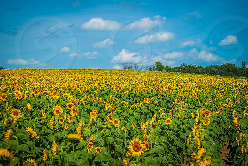 flower sunflower field Kansas nature photo