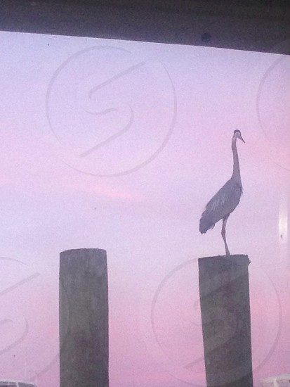 Blue Heron by the bay photo