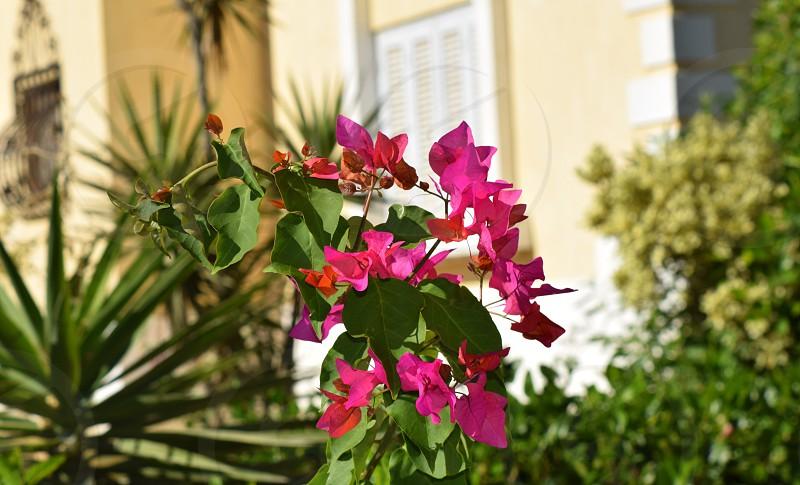 spring rose photo
