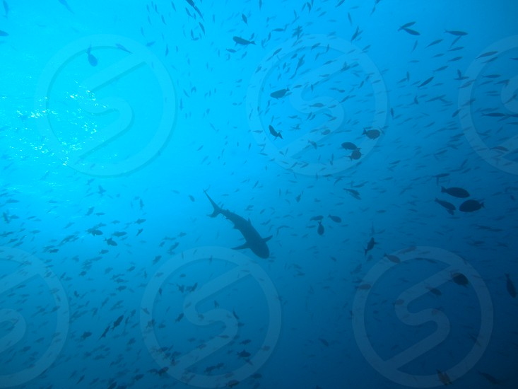shark predator fish marine life diving snorkelling ocean big blue sea water reef coral photo