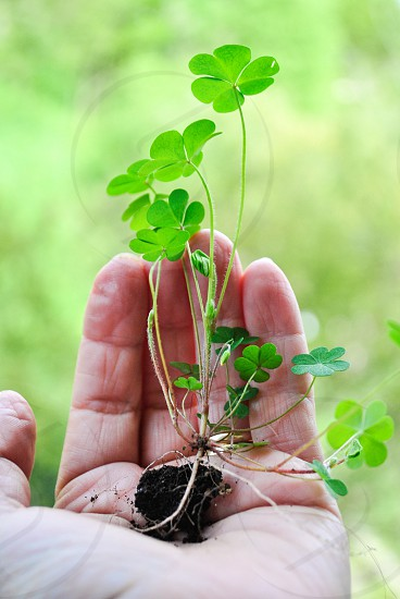 person holding many clovers photo