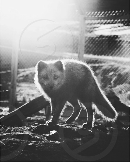 arctic fox photo
