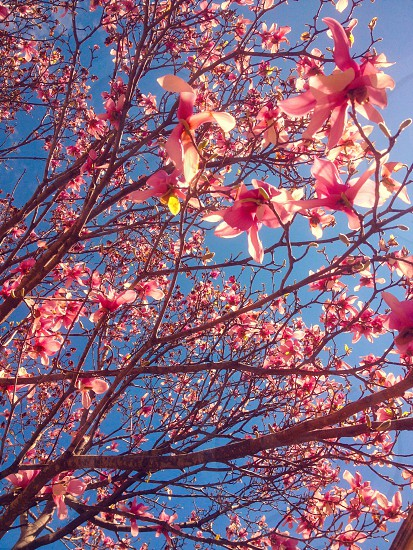 Pink flowers against a solid blue sky.  photo