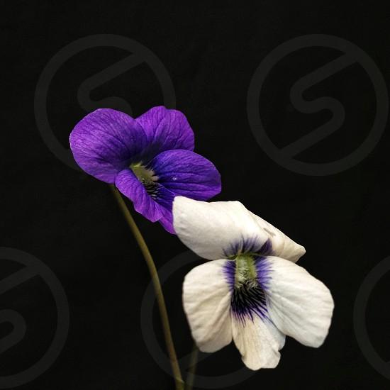 white and purple pancies photo
